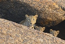 Televisión O santuário dos leopardos
