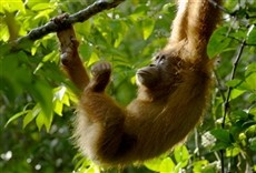 Serie Orangutanes: el secreto escondido