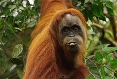 Escena de Orangutanes: el secreto escondido