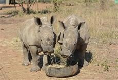 Serie Orfanato de rinocerontes