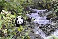 Serie Panda gigante: su último refugio