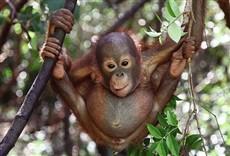 Serie Rescatando orangutanes