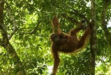 Escena de Rescatando orangutanes