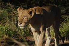 Serie Safari africano