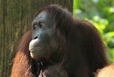 Serie Santuario de orangutanes