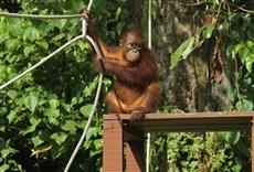 Escena de Santuario de orangutanes