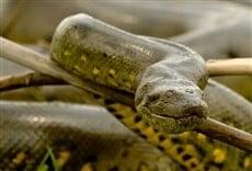 Serie Secretos de la serpiente pitón