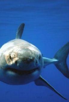Great White Shark Uncaged