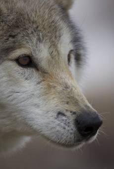 Lobos salvajes online gratis